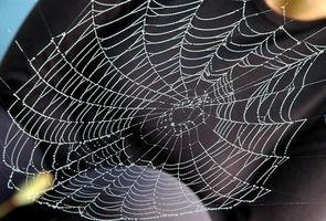Araignées de maison communs au Texas