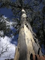 Description d'un Eucalyptus