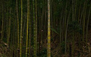 Structure de bambou Tiges