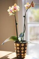 Que faire quand Orchid Roots se glissent hors du pot