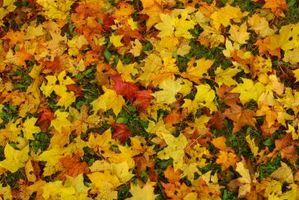 Les feuilles des arbres peut être brûlé pour Combustible de chauffage?