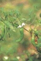 Pourquoi mes plantes Pepper Getting feuilles jaunes?