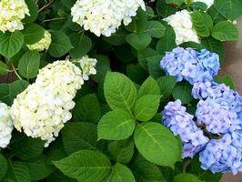 Comment planter un hortensia extérieur Plante
