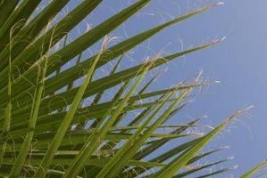 Noms botaniques de Palm Trees