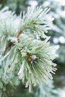 À croissance rapide Evergreen buissons Landscaping