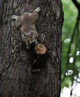 Comment garder écureuils de Pommiers