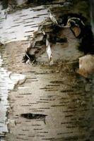 À quelle distance de planter arbres de bouleau Dans le Clump?