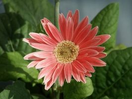 Comment puis-je tailler Gerbera Daisies?