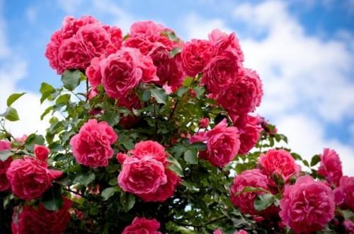Comment prendre soin d'un Rose Bush