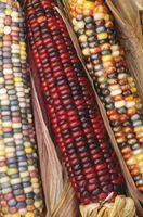 Profondeur de plantation pour les semences de maïs indienne