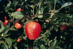 Comment traiter le chancre en arbres fruitiers