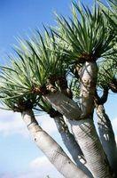 Plantes ressemblant à des miniatures Palmier