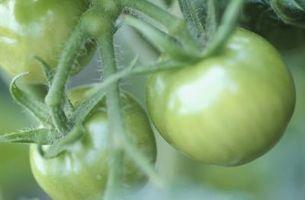 Comment accrocher Cages de tomates