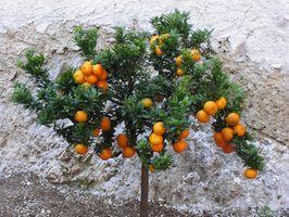 Comment éviter les taches d'eau sur les arbres d'agrumes intérieur
