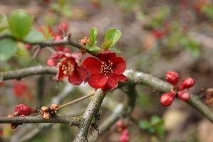 Comment transplanter les arbres Crabapple