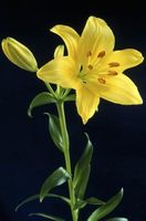 Qu'est-ce qu'un Lily Tree?