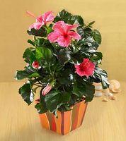 Comment faire pousser des plantes Hibiscus