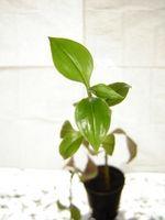 Pourquoi les feuilles jaunissent sur les plantes d'intérieur?