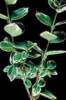 Mint Green & White feuilles des plants