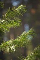 Comment greffer les arbres de pin pleureur