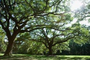 Lutte contre les insectes sur les chênes à Houston, Texas