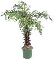 Comment prendre soin d'un Palm intérieure