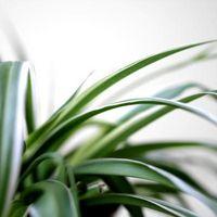 Comment faire pousser des plantes araignées à la maison