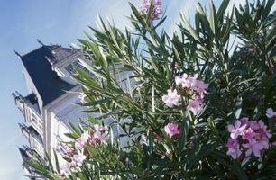 Comment faire pour contrôler les pucerons Oleander