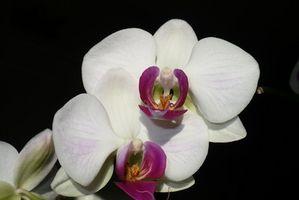 Comment nourrir un blanc Mericlone Orchid