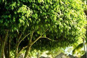 Type de Ficus les feuilles des arbres