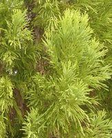 Cedar Tree problèmes