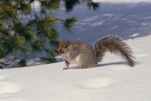 Comment se débarrasser des écureuils d'une cheminée