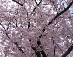 How High Devrais-je tailler Mon Yoshino Cherry Tree?