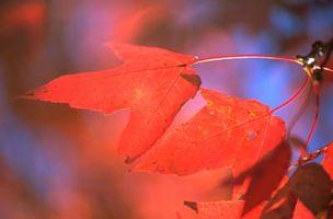 Comment féconder un automne Blaze Maple Tree