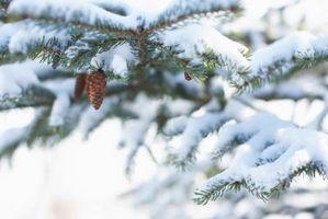 Comment planter un arbre Conifer