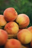 Quels Peach Tree Grows en Floride?
