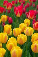 Faits importants sur la Fleur Tulip