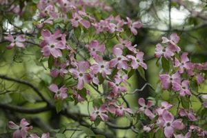 Un arbre Dogwood A huit ans qui ne Bloom
