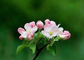 Où puis Apple Blossom fleurs poussent?