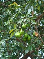 Comment émonder des arbres avacado