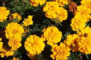 Croissance rapide Fleurs & Grass