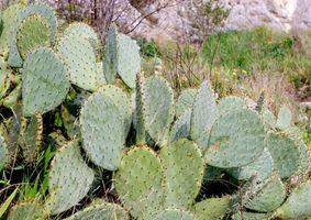 Liste des plantes sauvages comestibles au Texas