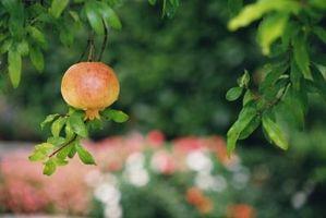 Aura Cueillette des fleurs de grenade blesser les fruits?
