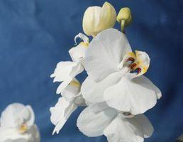Types de Mini Phalaenopsis Orchidées