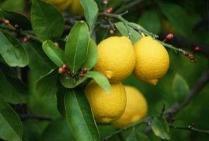 La hauteur d'un citronnier de Meyer