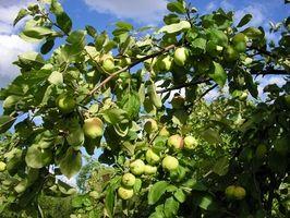 Sortes de d'arbres fruitiers dans l'Oklahoma