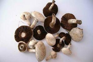 Comment faire pousser des champignons à partir de spores