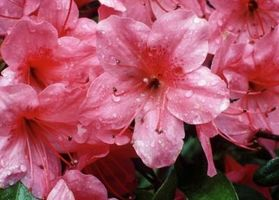 Comment Propager sauvage Azalea boutures