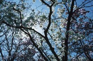 Comment Apportez un arbre de magnolia Retour à la vie