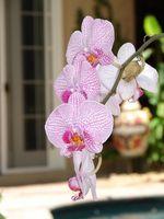 Conseils pour rempotage d'orchidées
